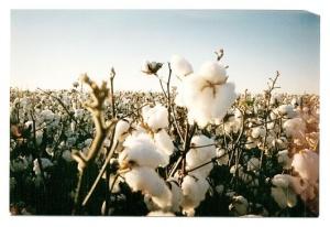 http://kaufmann-mercantile.com/organic-cotton/